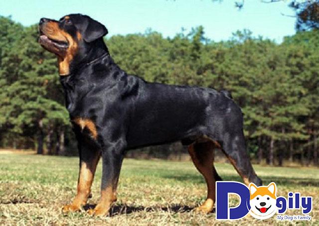 Một chú Rottweiler được chặt cụt đuôi