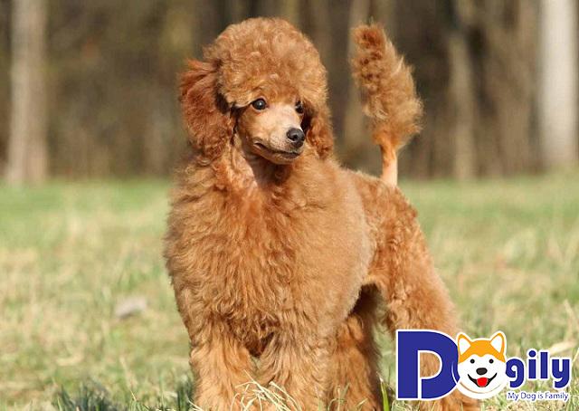 Một em Poodle được tạo kiểng sang chảnh