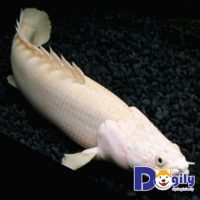Mua cá Rồng tại Dogily.vn