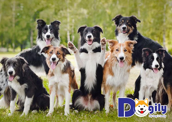 Mua chó Border tại Dogily