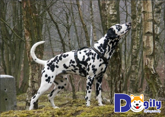 Mua chó Đốm từ những nhà nuôi chó chuyên nghiệp