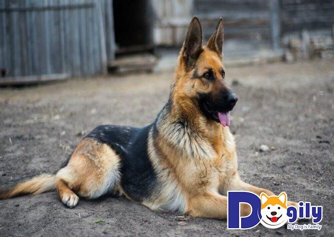 Nên nuôi chó để giữ nhà có đặc điểm như thế nào là đạt chuẩn?