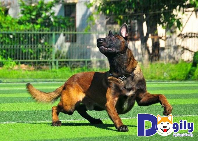 Ngoại hình chó Béc Bỉ có gì nổi bật?