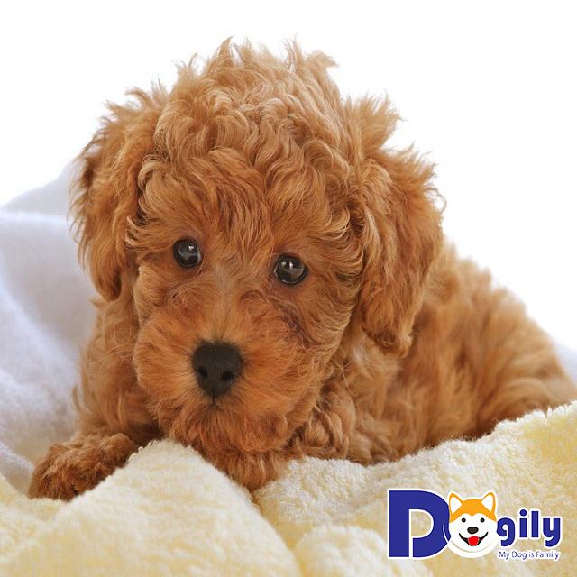 Nguồn gốc của chó Toy Poodle