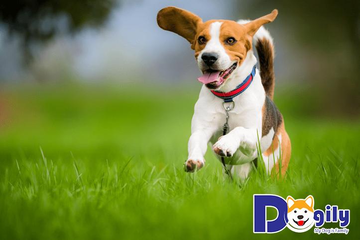Nguồn gốc của giống chó Beagle