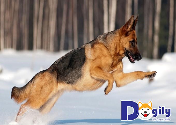 Giá chó Becgie Đức lai rẻ hơn rất nhiều so với chó thuần chủng. Có khi chỉ vài trăm k.