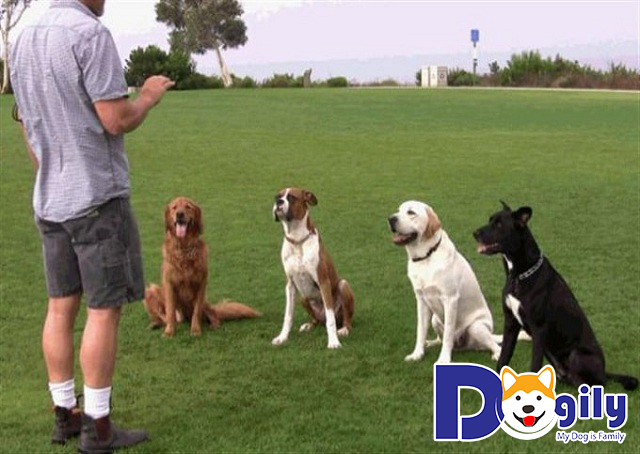 Những câu hỏi liên quan đến chương trình huấn luyện chó tại Dogily.vn