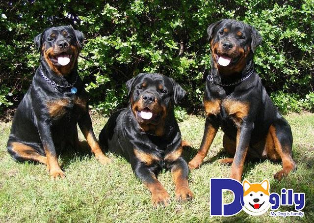 Những chú Rottweiler trưởng thành