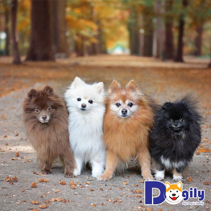 Những chú chó đáng yêu Pomeranian