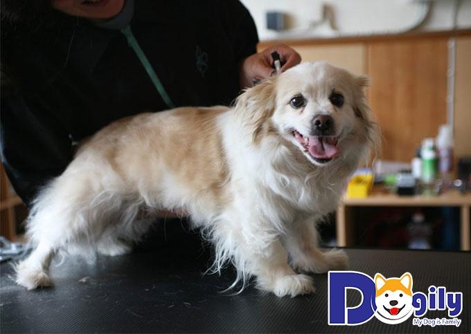 Những chú cún Bắc Kinh lai Nhật sở hữu ngoại hình vô cùng dễ thương