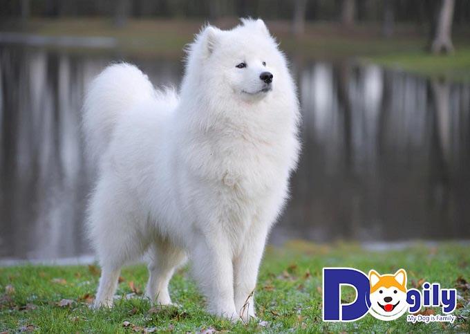 Những con chó đẹp Samoyed