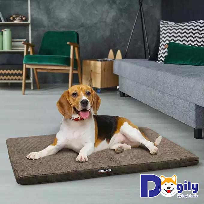 Những điều cần lưu ý khi nuôi Beagle