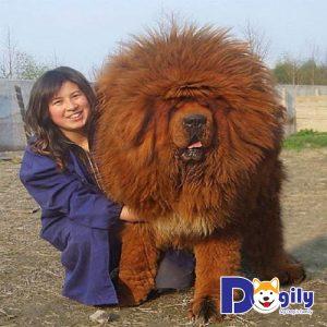 Thời hoàng kim, giá chó Ngao Tây Tạng có thể lên tới hàng triệu đô