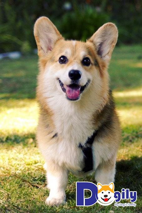 Những giống chó có giá trên 9 triệu đồng