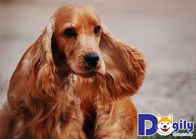 Những nét đặc trưng của chó Cocker Spaniel