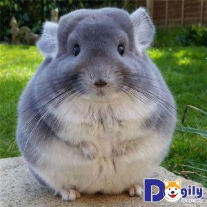 Những thông tin cơ bản và giá bán các bé sóc chuột Chinchilla tại Dogily bạn nên biết