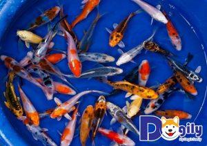 Những thông tin cơ bản về cá chép Koi Nhật Bản