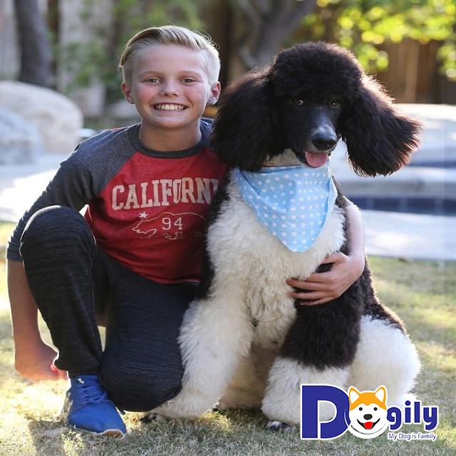 Chó Standard Poodle – Giống chó lớn nổi bật của họ nhà Poodle