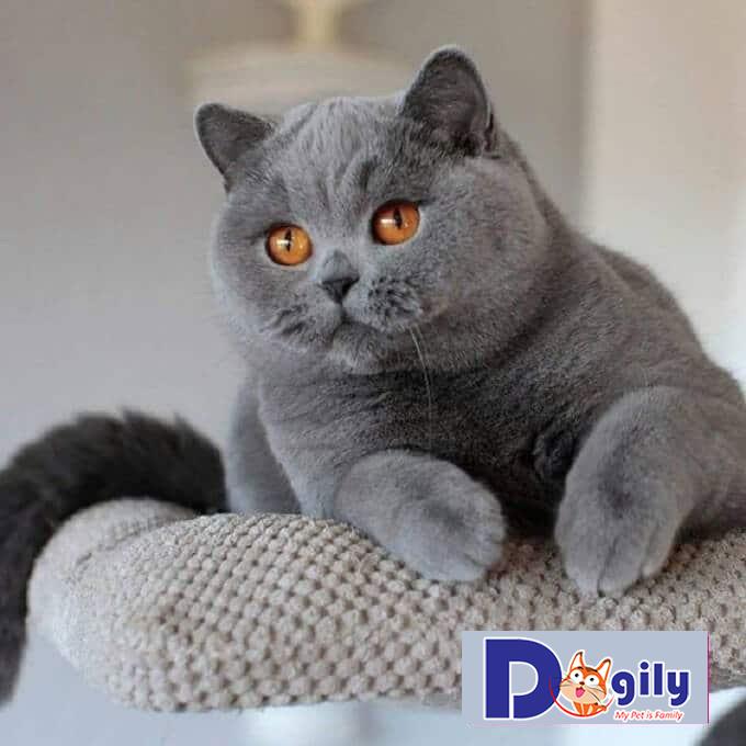 Phân khúc giá mèo anh lông ngắn Silver trên thị trường hiện nay