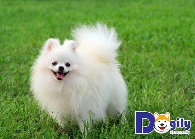 Phốc Sóc - các chú chó đáng yêu