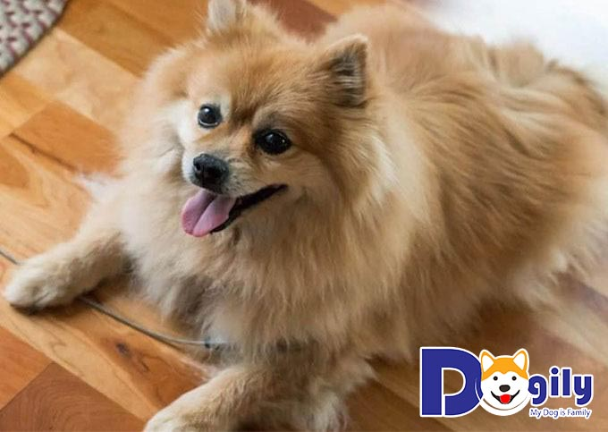 Phốc lai Nhật thuộc vào hàng chó cảnh nhỏ giá rẻ nhưng lại rất thông minh, lanh lợi