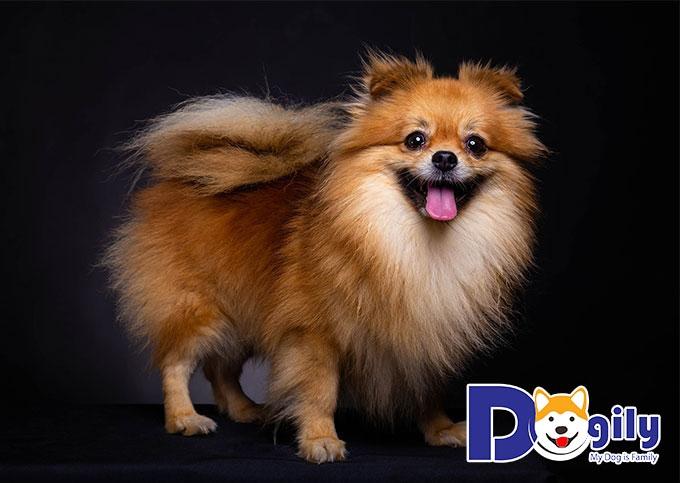 Pomeranian - các giống chó đẹp nhất thế giới