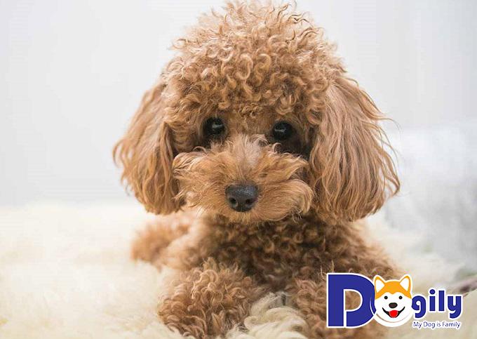 Poodle - chú chó dễ thương nhất thế giới