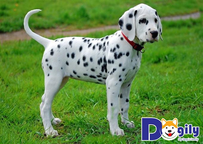 Quyền lợi của khách hàng khi mua bán chó Đốm tại Dogily