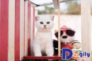 Quyền lợi của khách hàng khi mua mèo Scottish Silver tại Dogily
