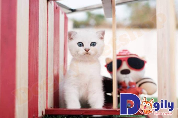 Mua mèo Scottish Silver và những điều cơ bản bạn nên biết