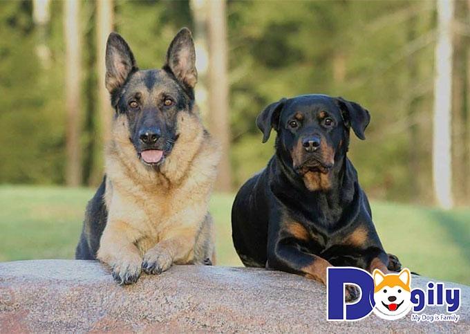 Rottweiler và Becgie rất dũng mãnh nên bạn hãy lựa chọn 1 cái tên cho phù hợp nhé