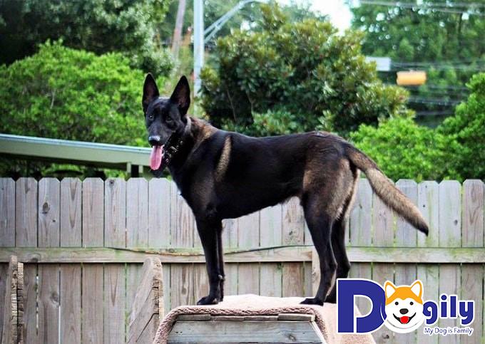 Thể lực chó Béc Bỉ