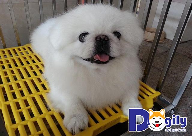 Chó Bắc Kinh lai Nhật và những điều bạn nên biết khi mua các bé cún cưng này