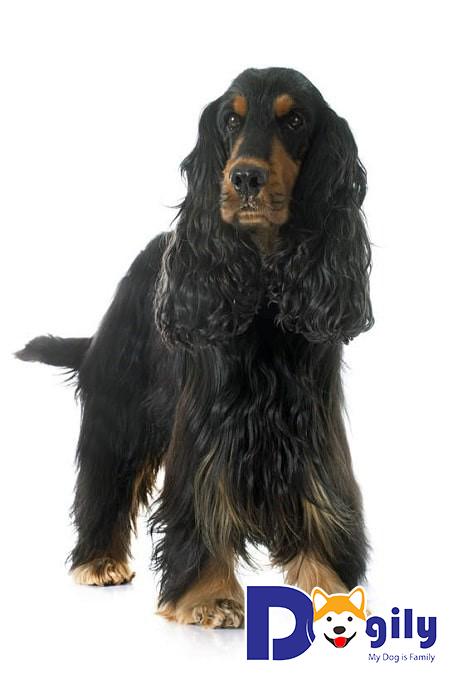 Tình trạng sức khỏe của chó Cocker
