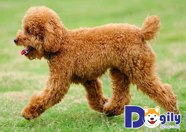 Toy Poodle hiếu động, tinh nghịch