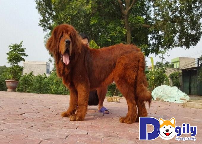 Có rất nhiều yếu tố tác động đến giá bán chó Ngao Tây Tạng. Hãy cùng Dogily Petshop tìm hiểu nhé