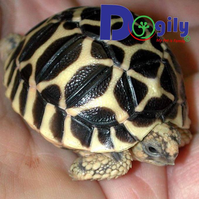 Rùa sao Ấn Độ – Indian Star Tortoise | Bán loài rùa quý hiếm nhập khẩu ( MS : 26819Rs )