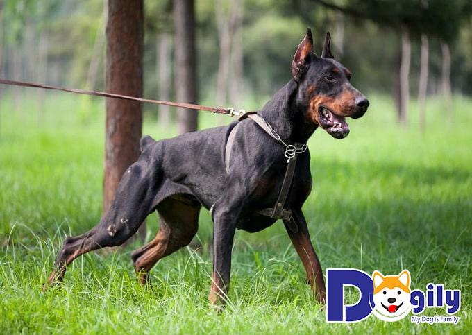 Vì sao bạn nên nuôi chó Doberman?