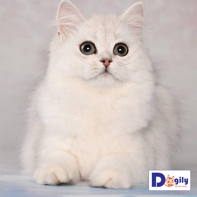 Mèo Anh lông dài mũm mỉm tha hồ cưng nựng suốt ngày | Cực phẩm tháng 8 ( MS 22819ALD )