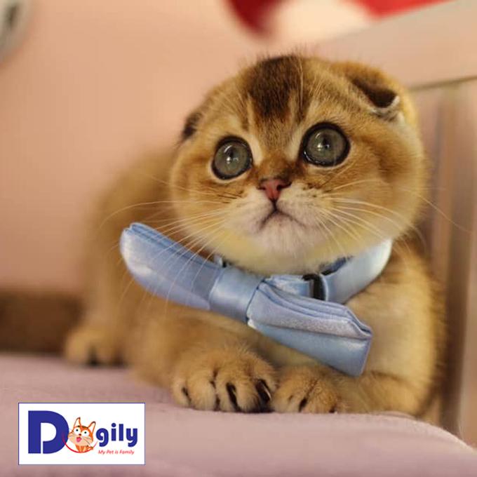 Mở bán mèo Scottish Fold Golden tháng 9 đáng yêu vô cực ( MS : 28819S )