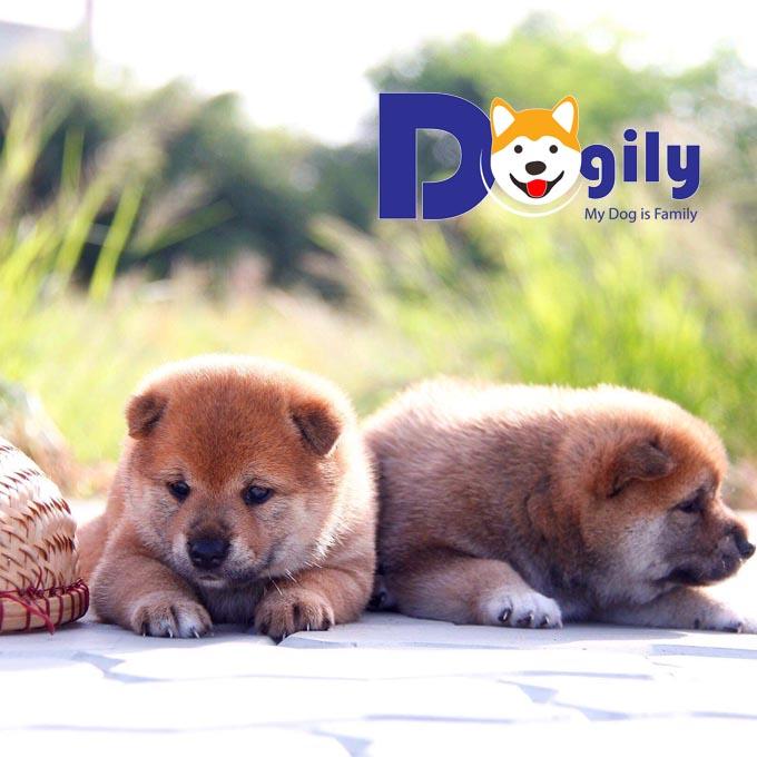 Mở bán đàn cún Shiba Inu 2 tháng tuổi nhập khẩu Châu Âu giá tốt ( MS 31819S )