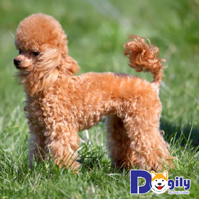 Bé Chó Miniature Poodle siêu đáng yêu