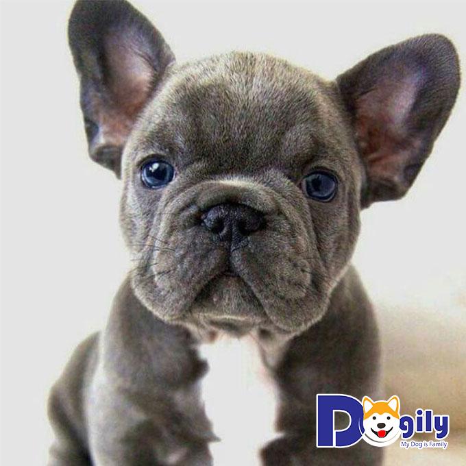 Mua chó mặt xệ giá bao nhiêu tiền và mua ở đâu?