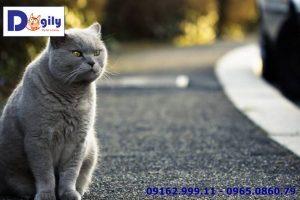 Cách chăm sóc mèo Anh lông ngắn khá đơn giản nếu bạn chịu khó tìm hiểu đôi chút.