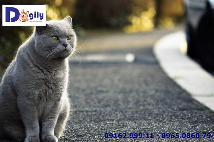 3 lưu ý quan trọng bạn cần biết để chăm sóc mèo Anh lông ngắn đúng cách