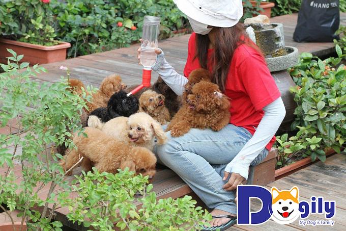 Chó mini poodle thân thiện với con người