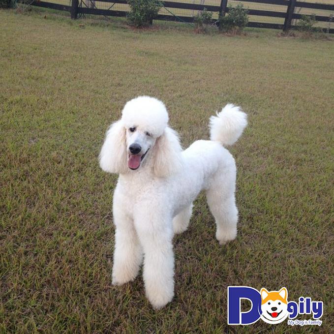 Cập nhật giá chó Poodle mới nhất và những nhân tố ảnh hưởng