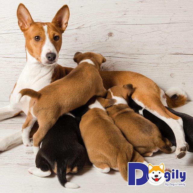 Cún mẹ và cún con sinh ra bằng phương pháp In-breeding