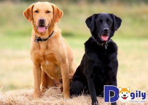 Giá chó Labrador có sự chênh lệch dao động từ 6 đến 35 triệu đồng