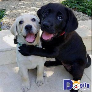 Giá chó Labrador từ Châu Âu hoặc Bắc Mỹ có giá lên đến 1500$
